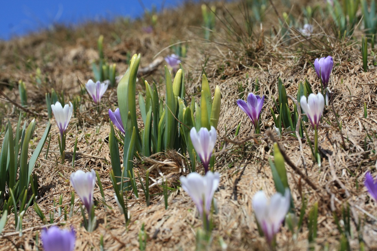 crocus gazon